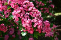 cherry-blossom-210692_1920.jpg